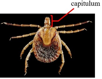 How Do Ticks & Mites Differ? | Study com