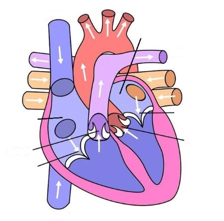 Draw a sketch or use the diagram of the heart below and ...