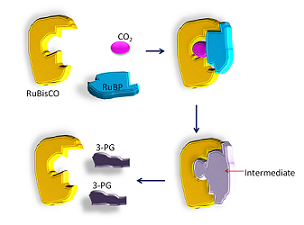 Carbon fixation: RuBP and CO2 are temporarily joined as one.