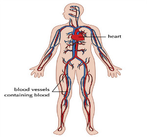 Cardiovascular System Lesson for Kids | Study.com