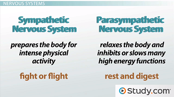 Summary of the two divisions of the autonomic nervous system
