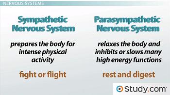 images for autonomic nervous system         School   Pinterest     Pinterest