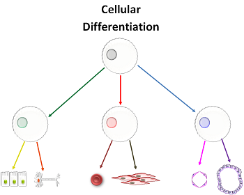 Applications of cell differentiation benefits risks study figure 1 all cells in multicellular animals start out the same but a variety of signals result in the development of different or specialized cells ccuart Images