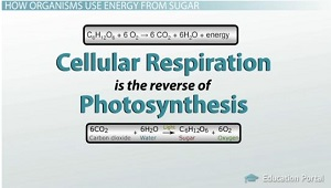 Cellular Respiration Is the Reverse of Photosynthesis