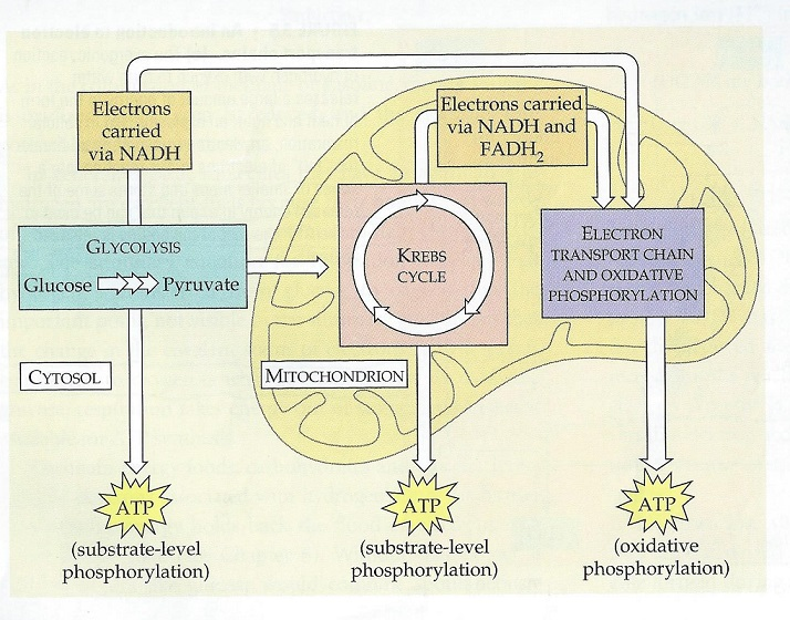 Oxidative Phosphorylation Concept Map Oxidative Phosphorylation: Definition, Steps & Products   Video  Oxidative Phosphorylation Concept Map