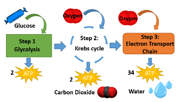Cellular respiration lesson for kids definition steps study add it up ccuart Images