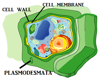 Cell Wall Lesson for Kids: Definition & Function   Study.com