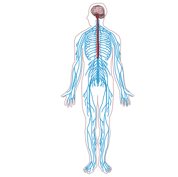 The Peripheral Nervous System Lesson for Kids | Study.com