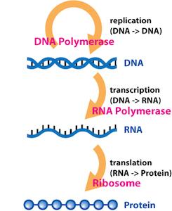 Reverse Transcriptase  Definition  Function   Structure