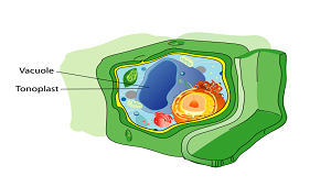 Vacuole Function Lesson for Kids | Study.com