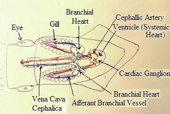 Cephalopod circulatory system study ceph circ system ccuart Images