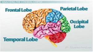 cerebral cortex lobes