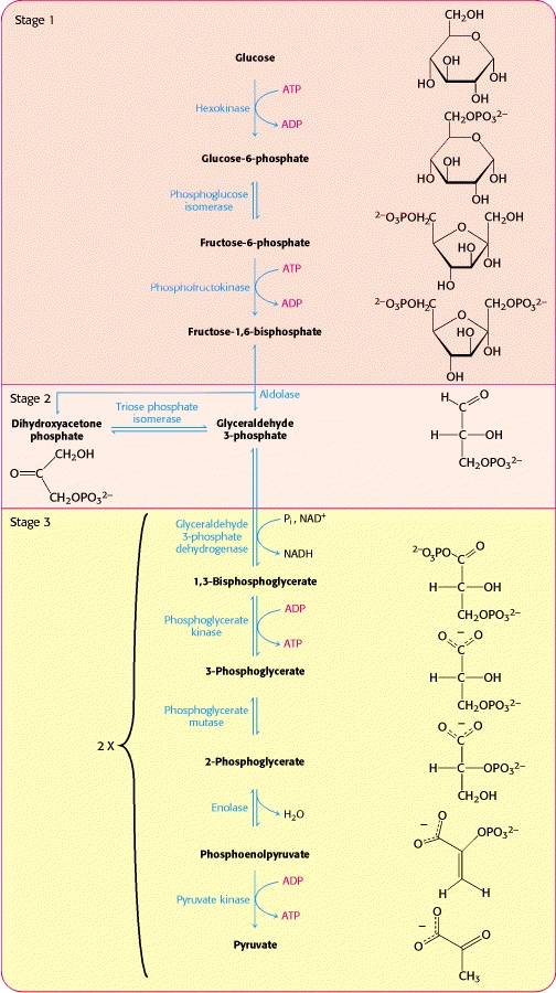 Glycolysis And Cellular Respiration Study Com