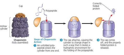 The Chaperonins (Cell Biology)