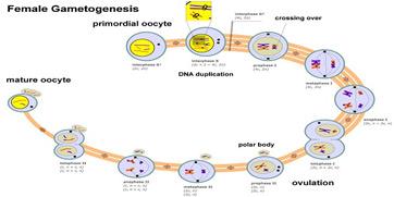 How do oocytes mature