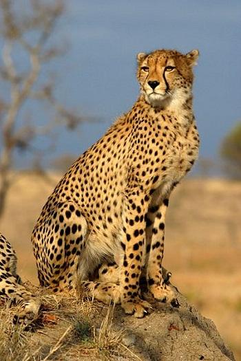 How Fast Do Cheetahs Run Cheetah Facts: Lesson ...