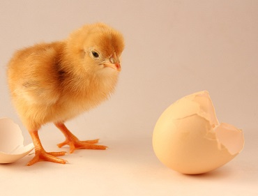 Do chickens reproduce asexually