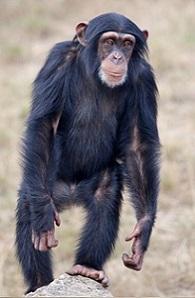 Chimpanzee Taxonomy Chimpanzees: An...