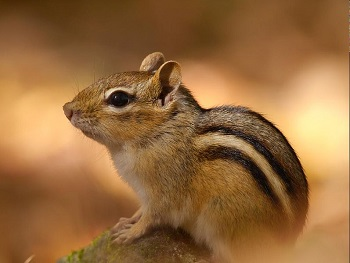 close up of chipmunk