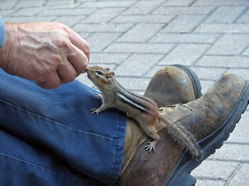 chipmunk close to mans hand