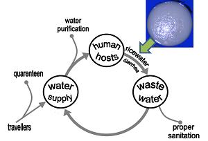 cholera transmission cycle - photo #16