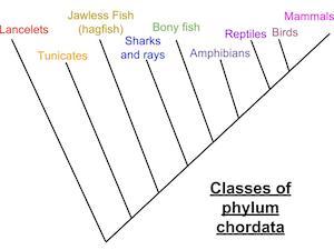 chordata respiratory system study com