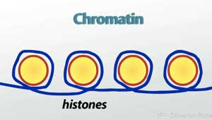 Chromatin And Histones Illustration