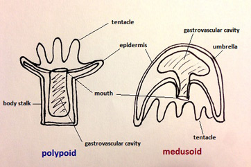 Polypoid and Medusoid Body Forms