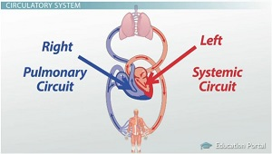 circulatory system 2 essay