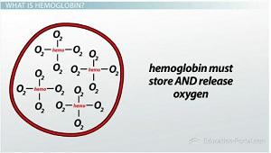 Oxygen storage and release in blood