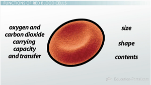Red blood cell functionality