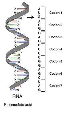 Image of mRNA and codons