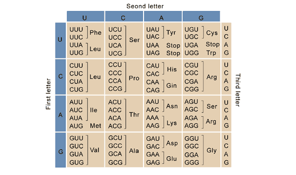 A table showing all of the possible codons.
