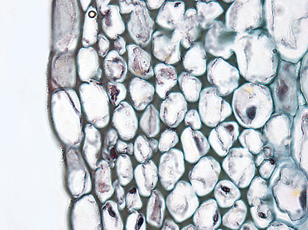 collenchyma cross section