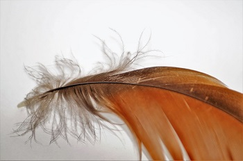 Birds feather covering quill bases of dating