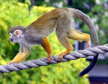Squirrel Monkey Mating: Reproduction & Lifespan | Study com