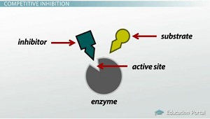 Enzymatic Reactions Inhibition And Regulation Video