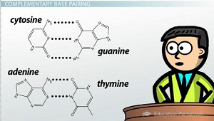 what structural problem prevents adenine from pairing with guanine