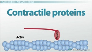 Contractile Proteins Image