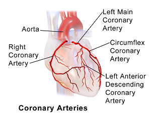 artery definition – citybeauty, Human body