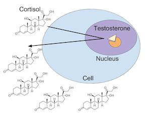 cortisol and testosterone