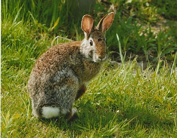Rabbit Facts: Lesson for Kids | Study.com