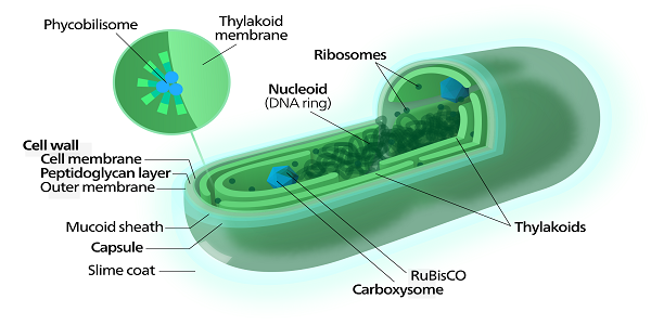 Diagram of prokaryotic cell of algae search for wiring diagrams prokaryotic algae cells function definition features study com rh study com animal cell diagram prokaryotic cell diagram worksheet ccuart Image collections