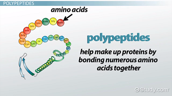 Polypeptide: Definition, Formation & Structure - Video & Lesson ...