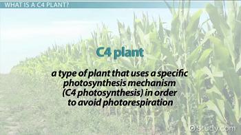 C4 Plants: Definition, Types & Examples - Video & Lesson Transcript ...