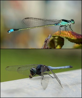 damselfly and dragonfly