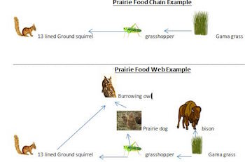 Prairie Food Chains Webs Video Lesson Transcript Studycom