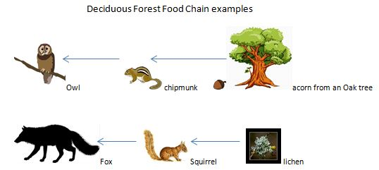 Food web diagram of the temperate forest