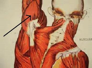 Deltoid Muscle: Origin, Insertion & Action   Study.com
