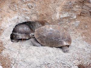 Tortoises; In Chapter Eleven Of The Novel, Ekwefi Tells Ezinma A Story To  Explain Why Tortoises Have Cracked Shells.